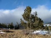 weathered_tree