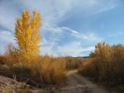 cottonwood_trees