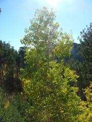 aspen_tree_part_1