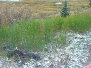 green_grasses_in_snow
