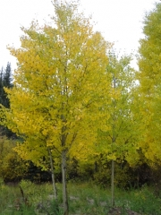 aspen_in_st_elmo