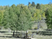 fenced_aspens