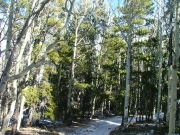 pines_and_aspens