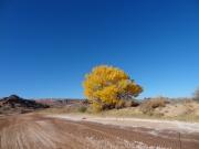 yellow_cottonwood
