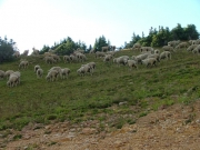 sheep_part_1