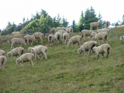 sheep_part_2