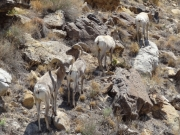 bighorn_sheep_part_2