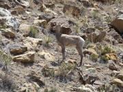 bighorn_sheep_part_3
