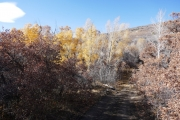 yellow_cottonwoods