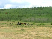 cows_in_deer_park
