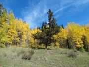 evergreen_in_aspens