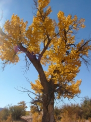 cottonwood_tree