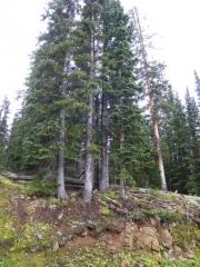 tall_trees
