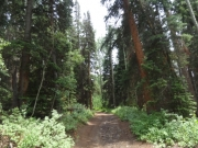 thick_trees
