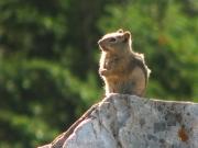 ground_squirrel