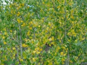 yellow_and_green_aspen_leaves