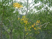 aspen_leaves_turning