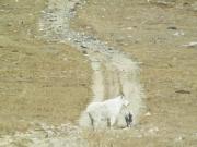 goats_part_2