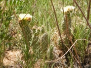 cactus_flowers
