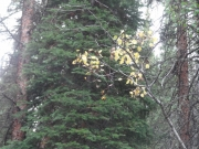 first_yellow_aspen_leaves