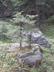 trees_from_rock