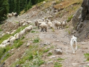sheep_part_2