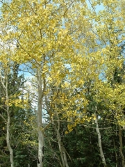 aspens_changing