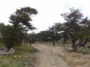 bristlecone_pines