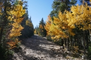 aspens_near_the_start