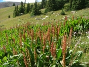timberline_plants