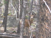 deer_near_the_trail