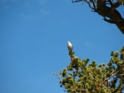 bird_on_bristlecone_pine