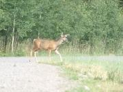 deer_1_part_2