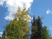 aspens_starting_to_turn