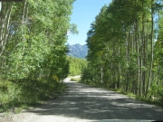 tall_aspen_along_the_trail