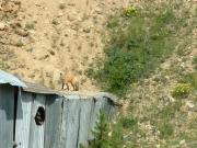 fox_on_the_mine