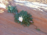 flower_in_slickrock_part_2