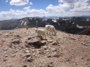 mountain_goats_part_1