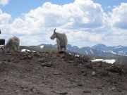 mountain_goats_part_2