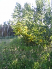 aspens_turning