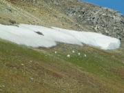 sheep_near_the_spur