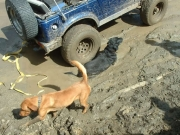 dogs_in_mud