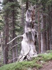 wizard_of_oz_tree