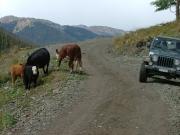 bob_dodging_cows