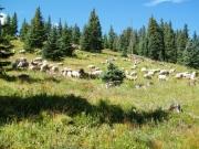 sheep_part_1