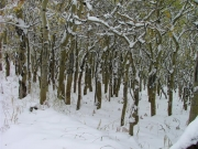 aspens_and_snow