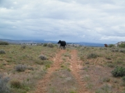 cow_on_the_trail